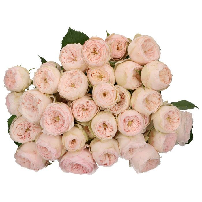 Rose and Spray Rose, Mansfield Park (Garden Rose) Blush Pink