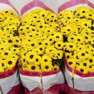 Chrysanthemum Santini Daisy Yellow Brown Centre Sunflower Type Barn Florist These daisies are now naturalized in the united states, where. chrysanthemum santini daisy yellow brown centre sunflower type