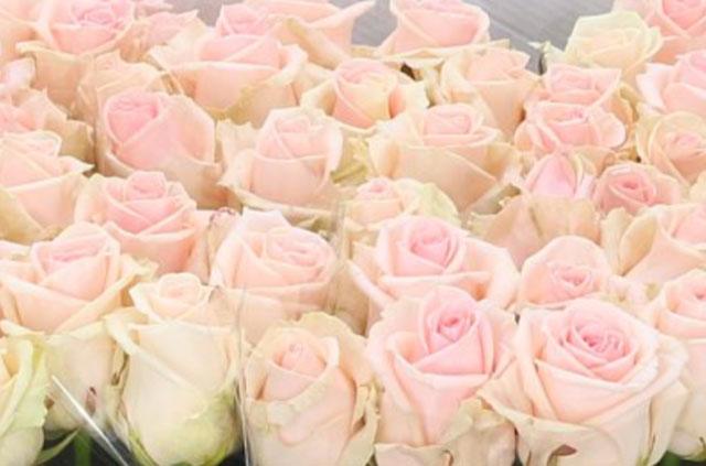 Rose Lovely Dolomiti Pale Pink Barn Florist